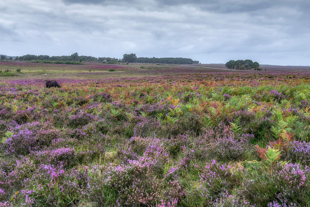 Beautiful heath land of the New Forest